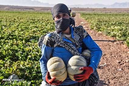 برداشت طالبی از مزارع دشت پرزان شهرضا