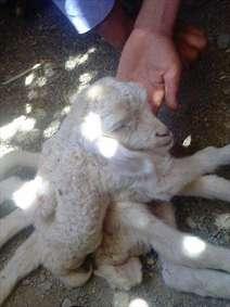گوسفند 8 پا