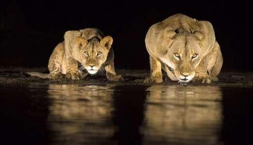 تصاویر آب خوردن شیرها در شب