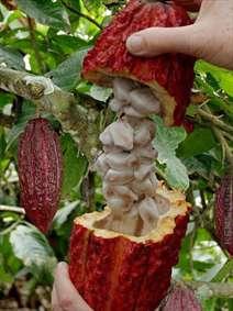 میوهی درخت کاکائو