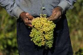 برداشت انگور و تولید کشمش و شیره در ملایر
