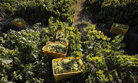 برداشت دیدنی انگور از تاکستانهای دره جوزان