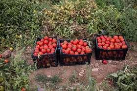 برداشت گوجهفرنگی در استان قزوین