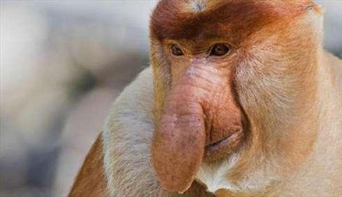 میمون دماغ گنده