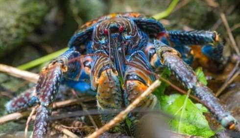 خرچنگ نارگیل