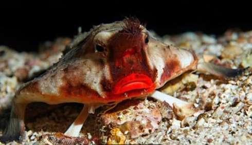 خفاش ماهی لب قرمز