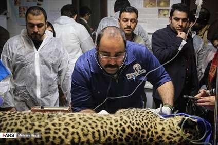 لقاح مصنوعی پلنگ ایرانی