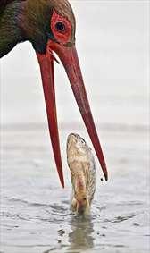 ماهیگیری یک ماهیخوار