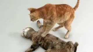 امداد گربه ای