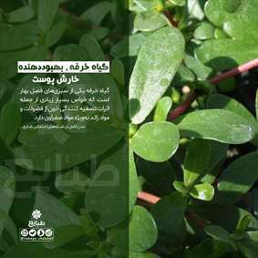 گیاه خرفه، بهبوددهنده خارش پوست
