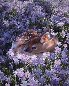 آهو در گلستان