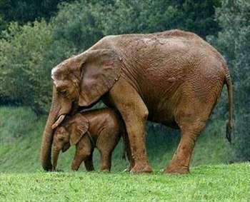 دلسوزی مادرانه فیل