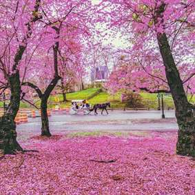 تصویر زیبایی از فصل بهار در نیویورک