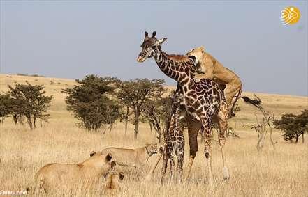 جدال تلخ زرافه و فرزندش با شیرهای گرسنه