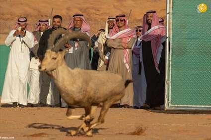 رهاسازی آهو برای تامین غذای یوز عربی توسط بن سلمان