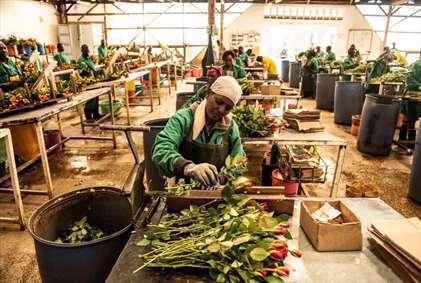 کارگاه بستهبندی گل رُز در کنیا. کنیا ۳۸ درصد از گل رُز وارداتی اتحادیه اروپا را تامین میکند.