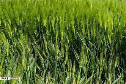 گندمزارهای « سُرخه »