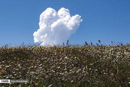 دشت « گلهای بابونه» اردبیل