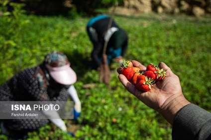 برداشت ملکه میوهها از مزارع کردستان