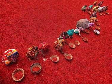 مزرعه کاشت فلفل قرمز در بنگلادش