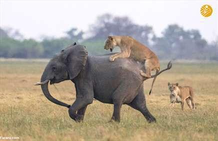 فیل سواری شیرها