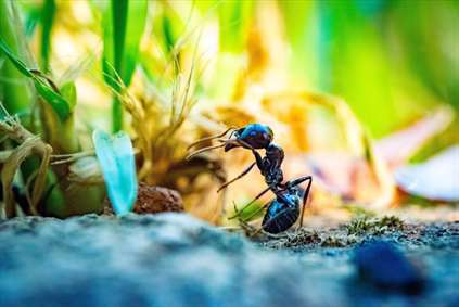 مورچه پر کار