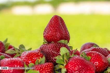 برداشت توت فرنگی در مزارع ساری