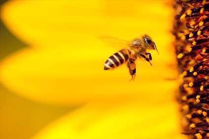 پرواز زنبور