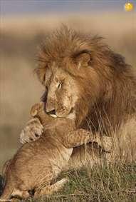تصاویر دیدنی از شیرهای روبه انقراض آفریقا