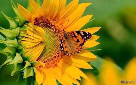 گل های آفتابگردان 2