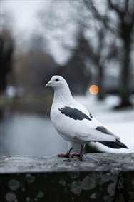 کبوتر حرم