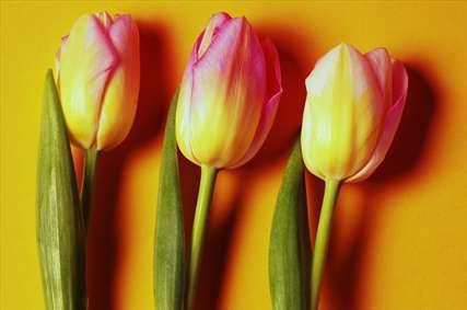 گل های لاله