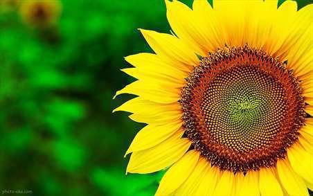 گل های آفتابگردان 1