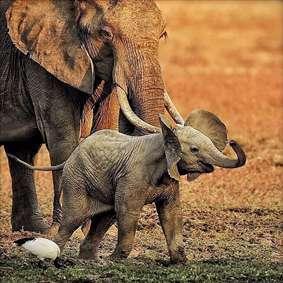 فیلهای مادر