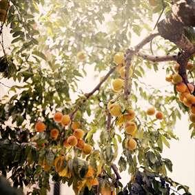 زردآلو بر درخت