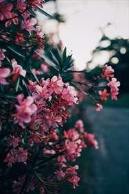 درخت گل