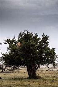 درخت کهن