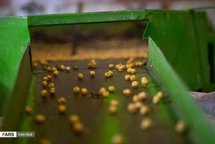 مَمَقان پایتخت تولید «نخودچی» جهان