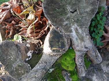تنه درخت بریده