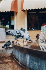 آبتنی کبوتر