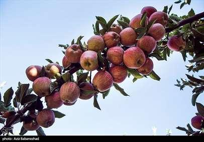 برداشت سیب از باغات شهرستان سلسله