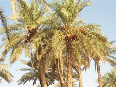 نخلستان ها و باغات منطقه فرات