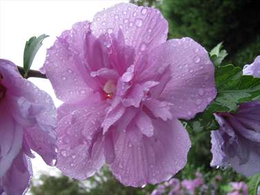 گل ختمی زیر باران