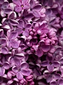 گل های بنفش