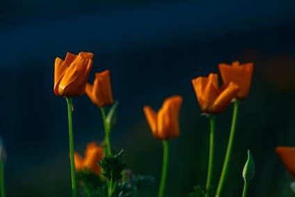 گل نارنجی