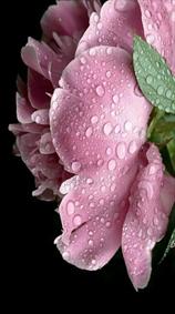 شبنم و گل محمدی