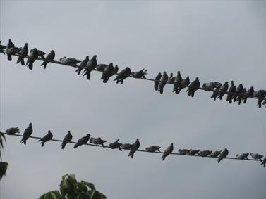 جلسه کبوتران