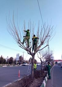 هرس کردن درختان شهری