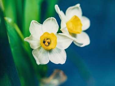 زیباترین گل های نرجس