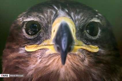 رها سازی پرندگان شکاری در قم